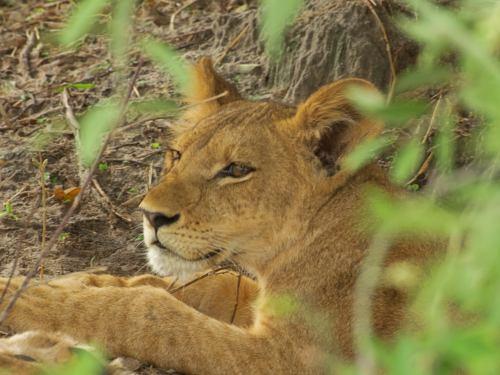 Leones en Chobe