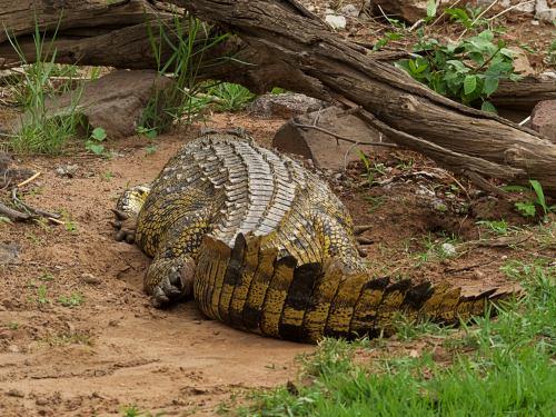 Cocodrilos en Chobe