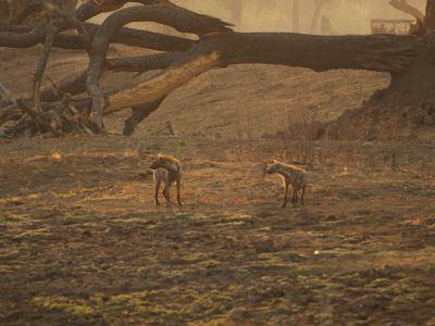 Dos hienas pasan a nuestro lado