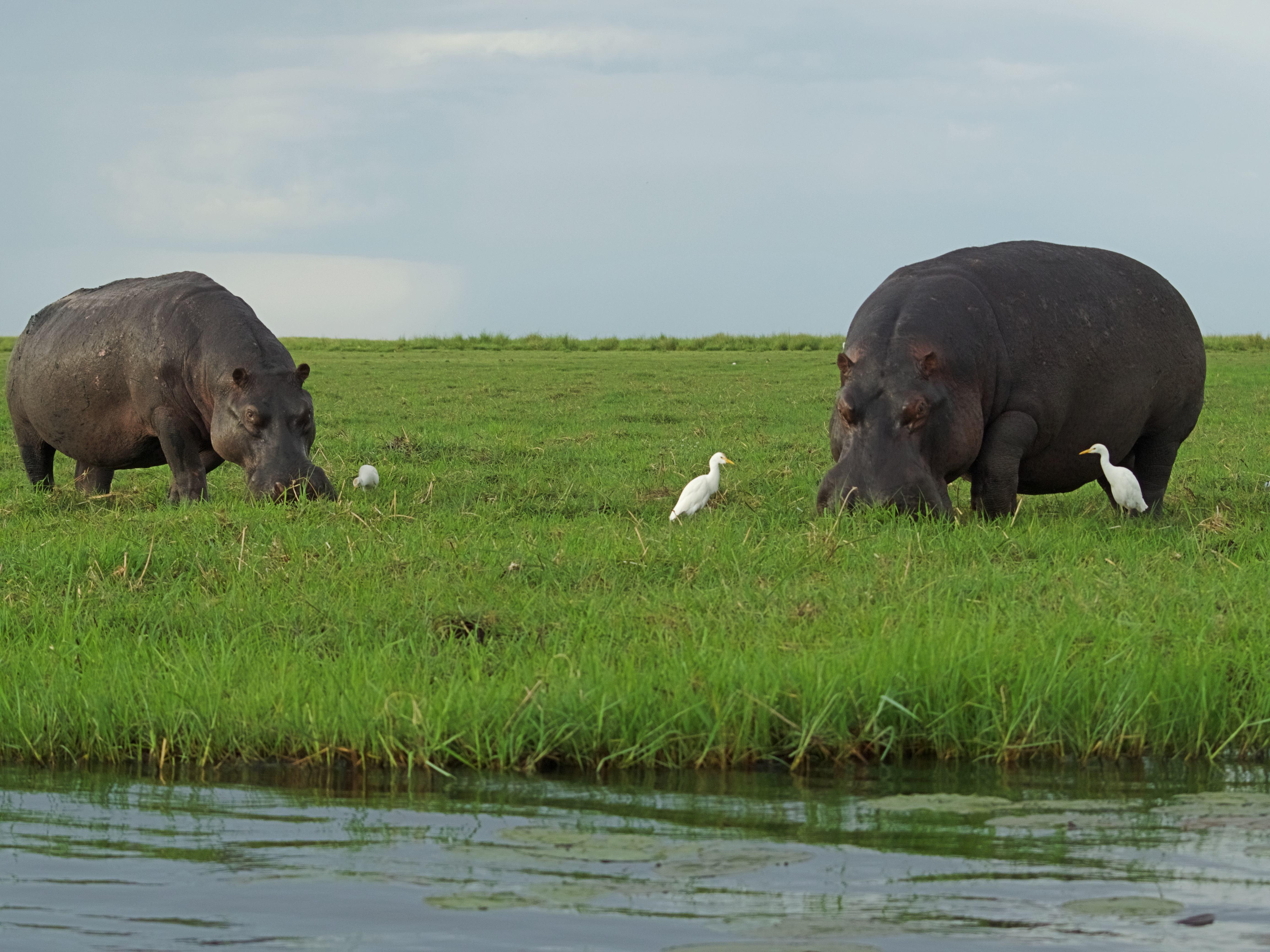 Dos hipos comiendo en Chobe
