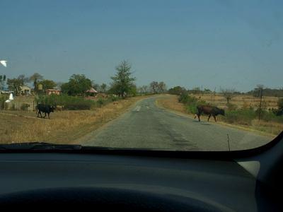 El ganado campea a sus anchas por Zimbabue