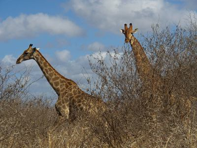 Dos jirafas en Gonarezhou National Park