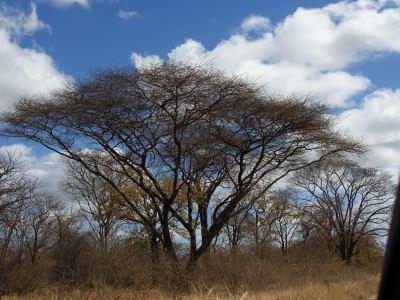 """Enorme acacia en """"Gonarezhou National Park"""
