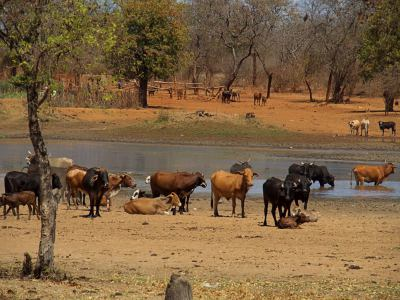 Ganado siempre en cada poblado de Zimbabue