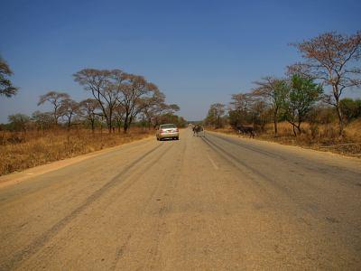 Ganado a lo largo de las rutas en Zimbabue