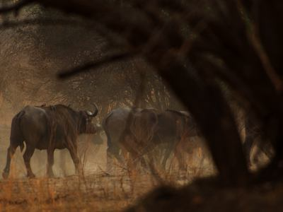 Por la selva andando entre búfalos