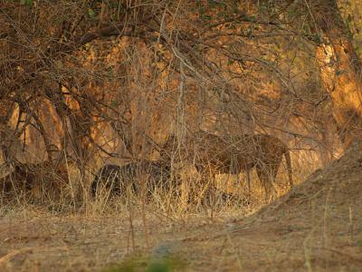 Leones comiendose un búfalo