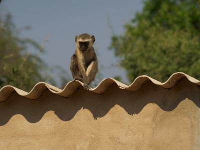 Babuino acecha en Mana Pools