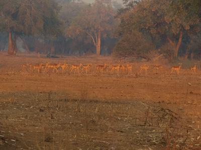 Grupo de impalas junto a nuestra tienda en Mana Pools