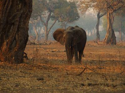 Elefante en Mana Pools
