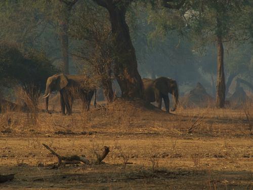 Otros dos elefantes en Mana Pools