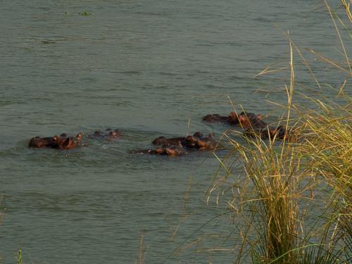 Hipopótamos delante de nuestra tienda