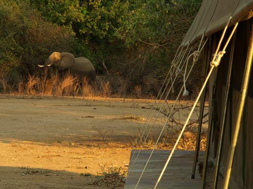 Elefantes junto a nuestra tienda en Mana Pools