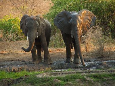 Dos elefantes en Tiger África