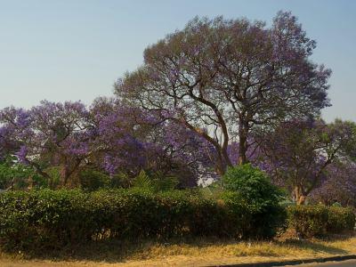 Jacarandas violetas por todas partes en Harare