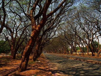 Harare ciudad de las jacarandas violetas