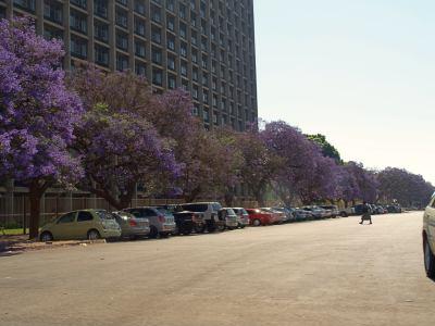 Avenidas de jacarandas violetas en Harare