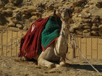 Otro camello en las Pirámides de Giza