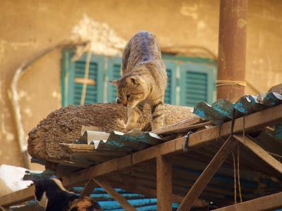 Un gato en un tejado de El Cairo