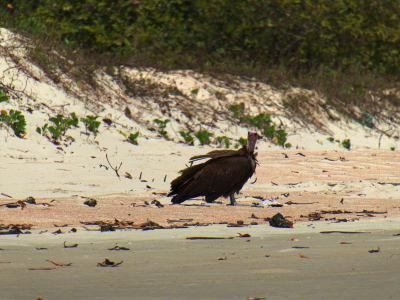 Rodeados de buitres en la isla de Orango