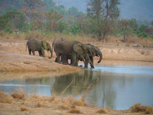Elefantes en la Penjari en una mare (Benin)