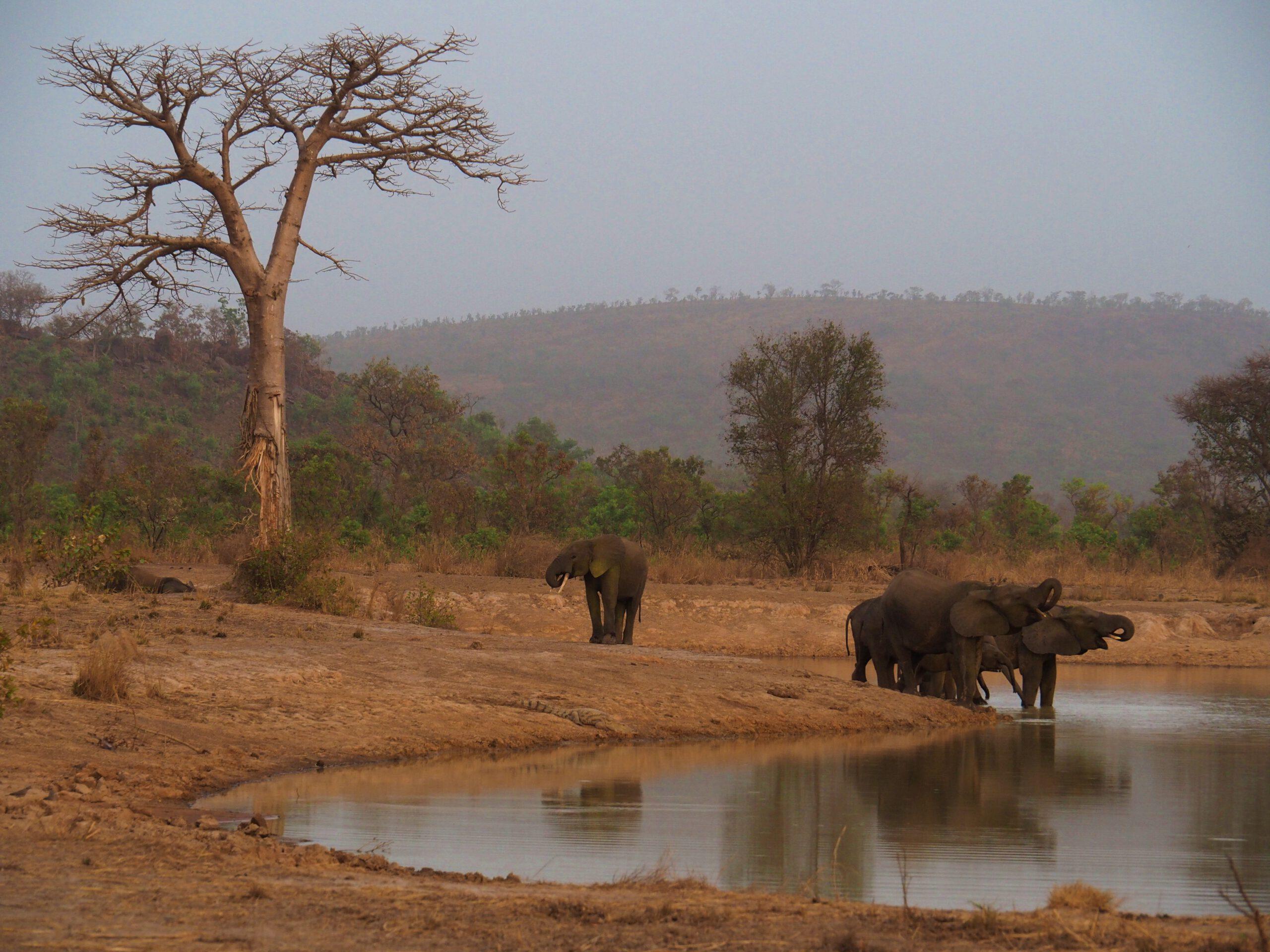 Elefantes en la Penjari (Benin)