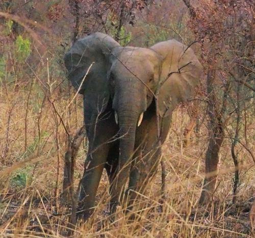 Un elefante en la Penjari (Benin)