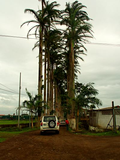 El camino de palmeras a Sampaka