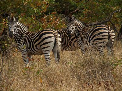 Dos cebras en Gonarezhou National Park
