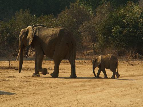 dos elefantes en Mana Pools