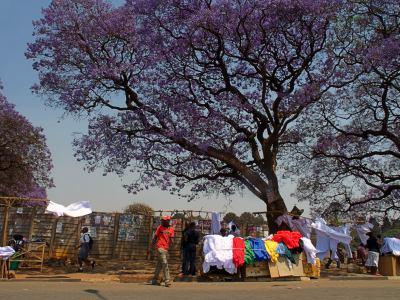 Harare llena de jacarandas violetas