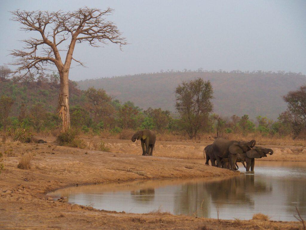 Los elefantes de la Penjari (Benin)