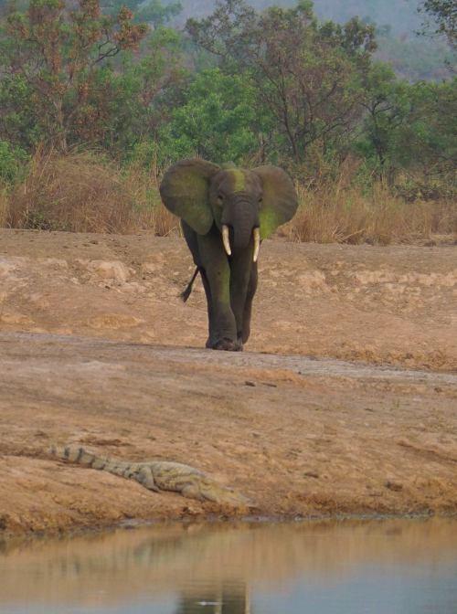 Los elefantes hacen frente en la Penjari (Benin)