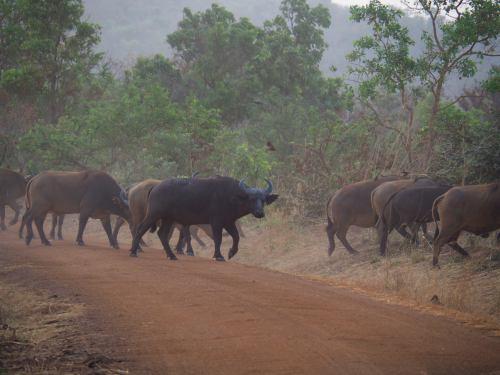 Unos búfalos en la PENJARI (Benin)