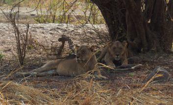 Leones en el Parque Nacional de la Penjari (Benin)