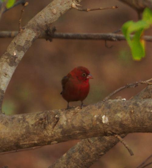 Los pájaros de la Penjari (Benin)