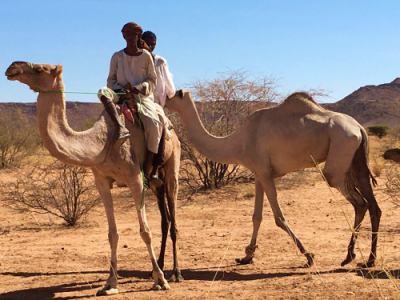 Dromedarios en el desierto camino de las pirámides de Meroe en Sudán
